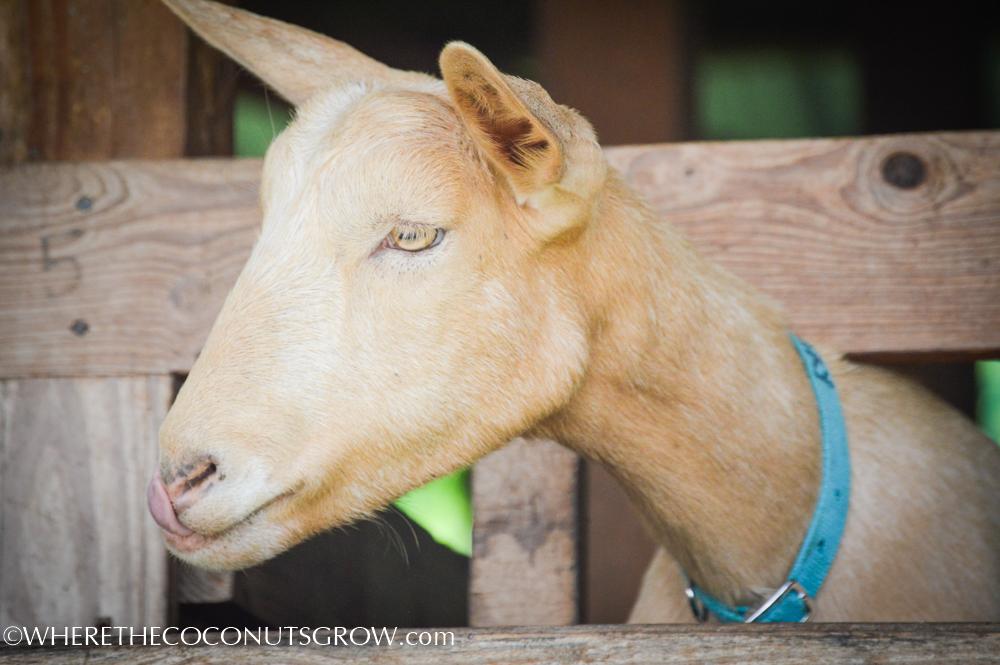 goat dairy-11