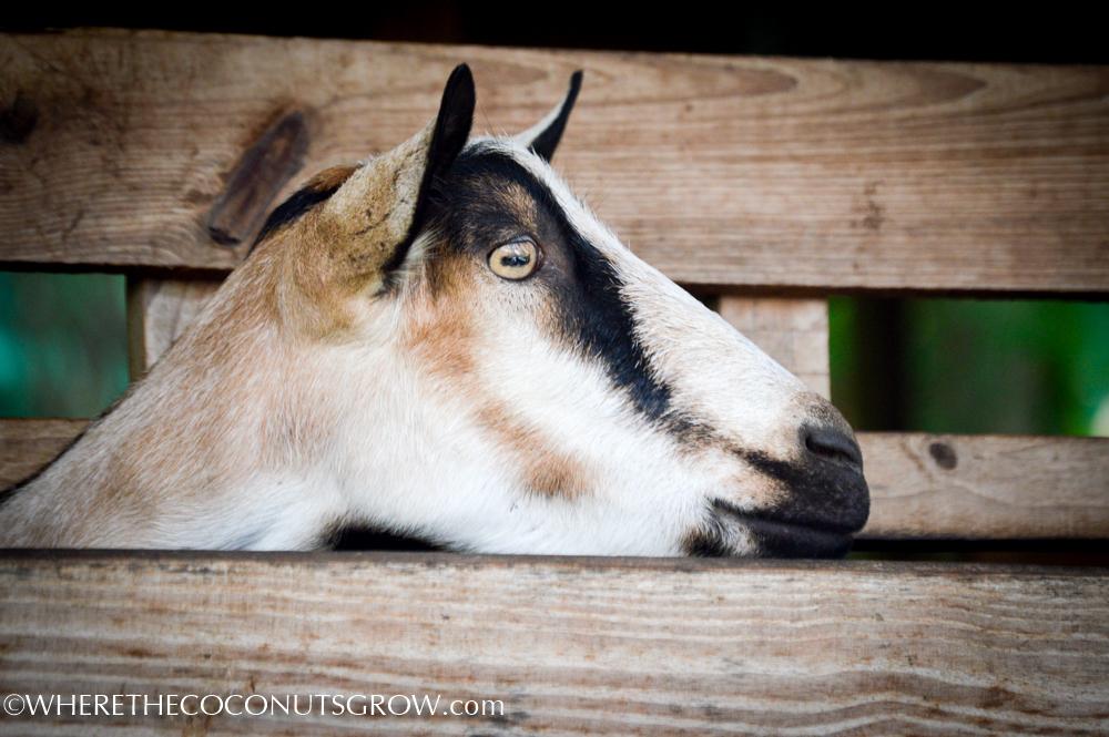 goat dairy-12