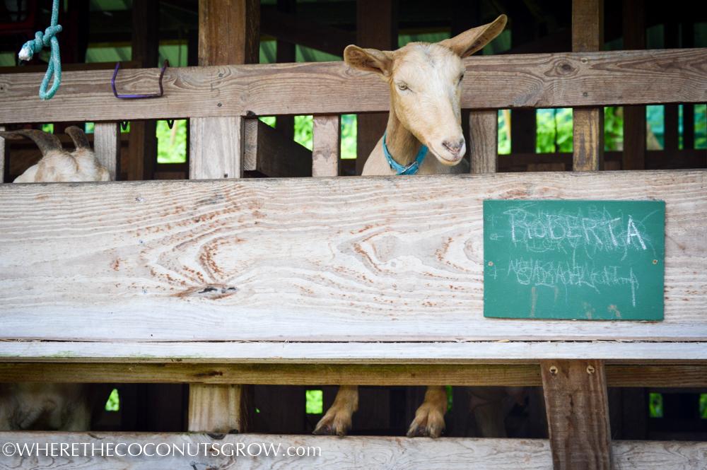 goat dairy-13