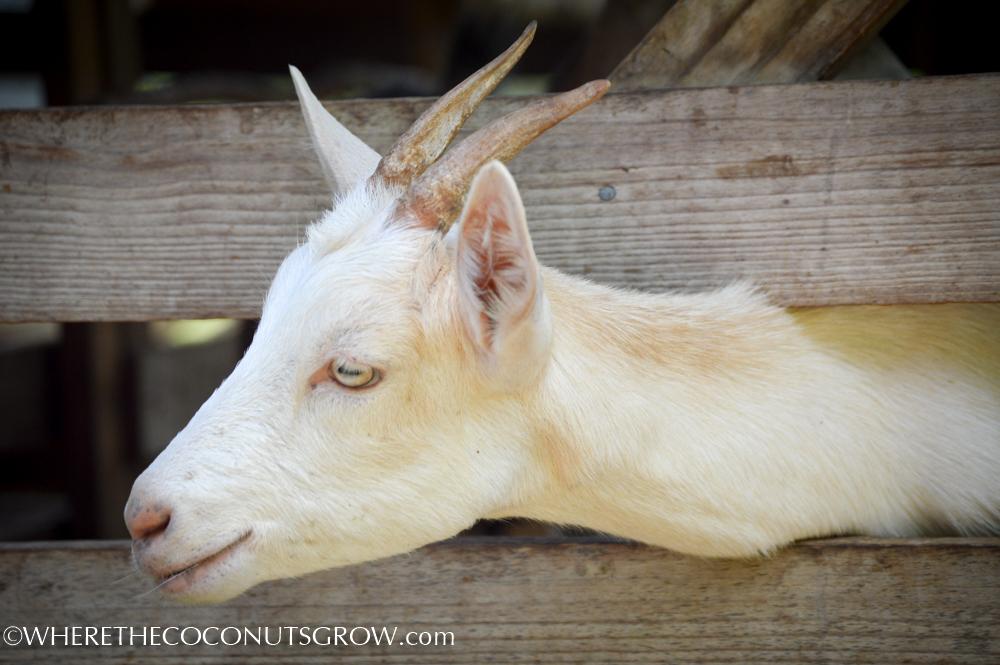 goat dairy-15