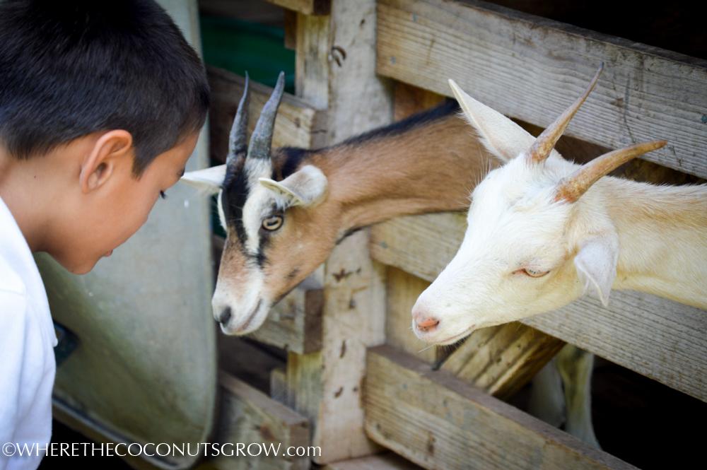 goat dairy-16