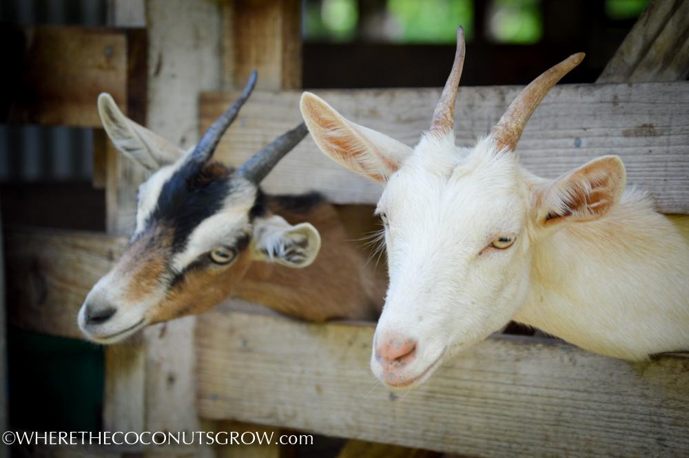goat dairy-17