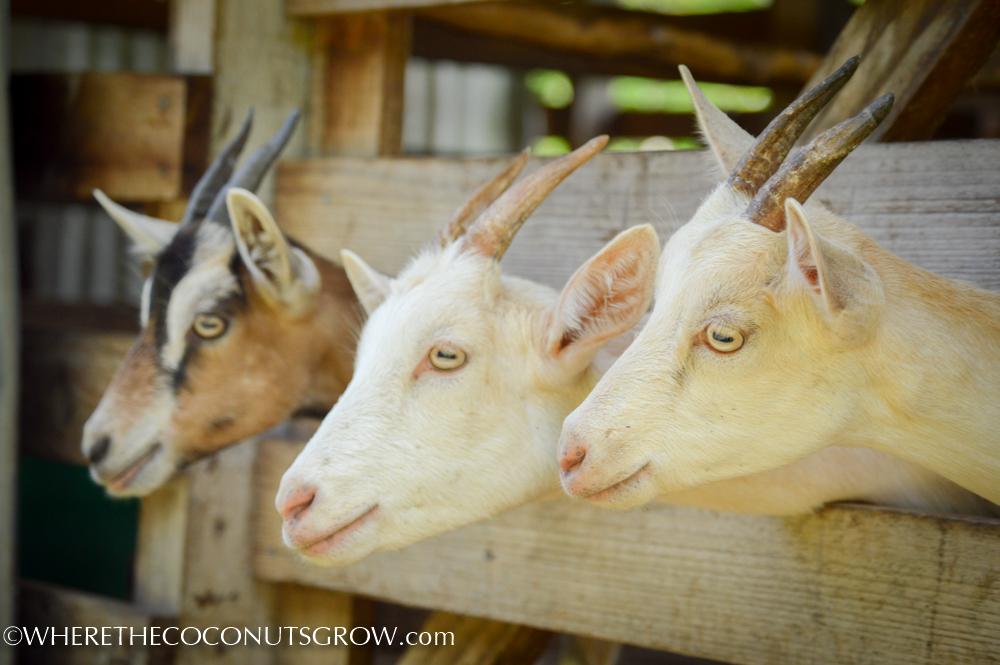 goat dairy-22