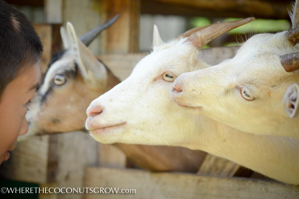 goat dairy-23
