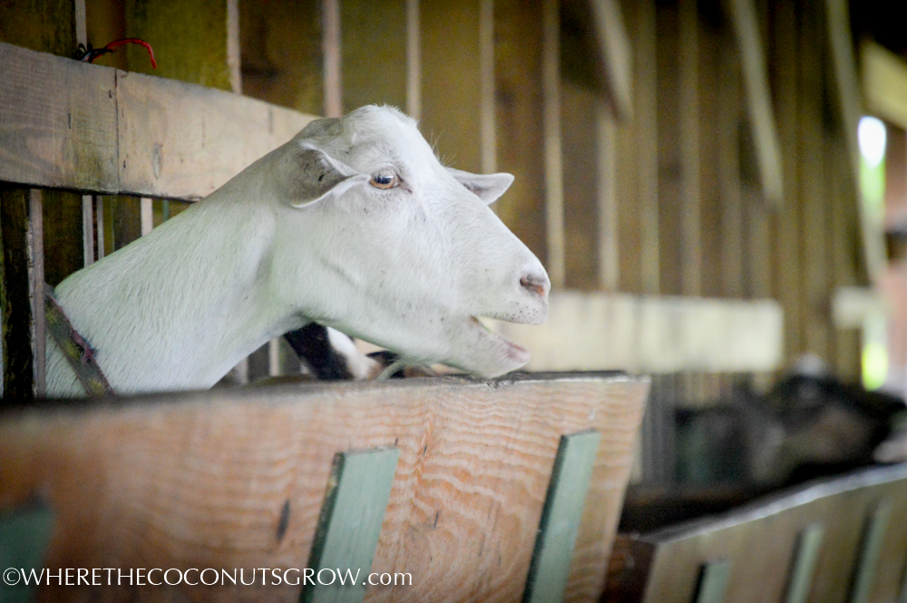 goat dairy-25