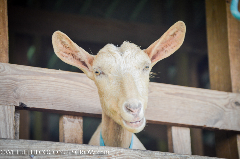 goat dairy-27